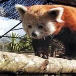 pleugueneuc.un-panda-roux-au-zoo-de-la-bourbansais