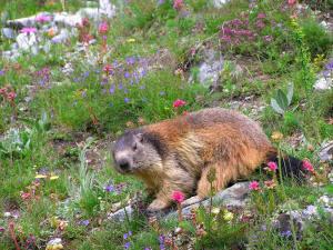 parc_national_des_pyrenees_marmotte